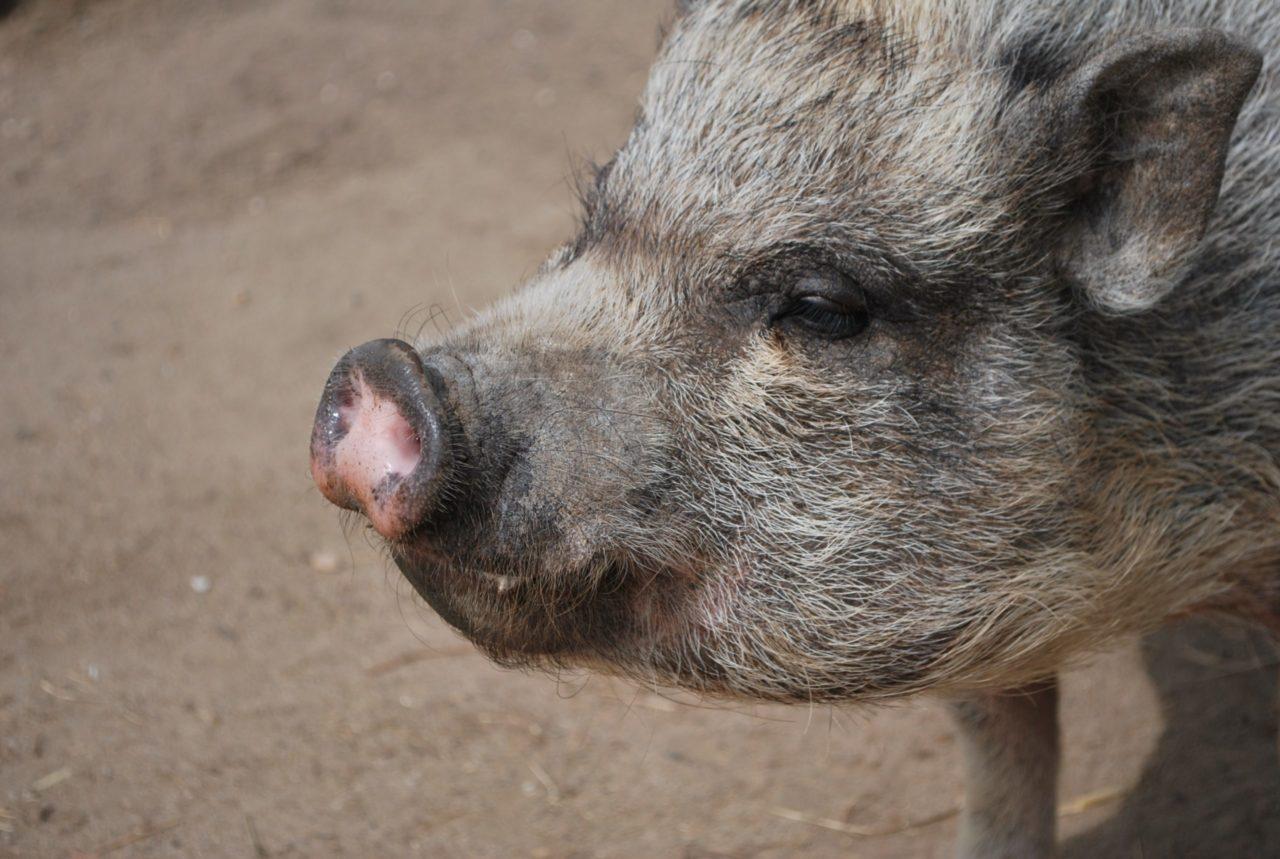 photo d'un cochon